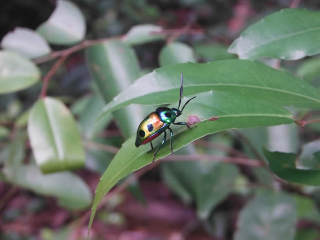 photo of a golden spotted beetle on a leaf
