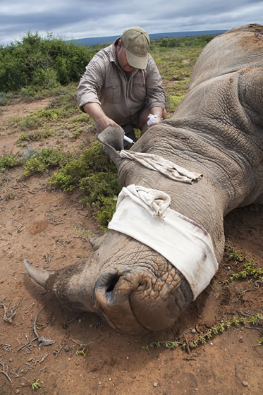 photo of a man working with a tranquilized rhinoceros