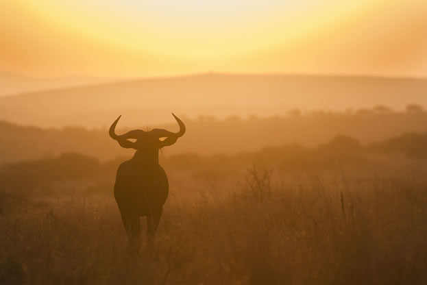 photo of a wildebeest under a sunrise or sunset