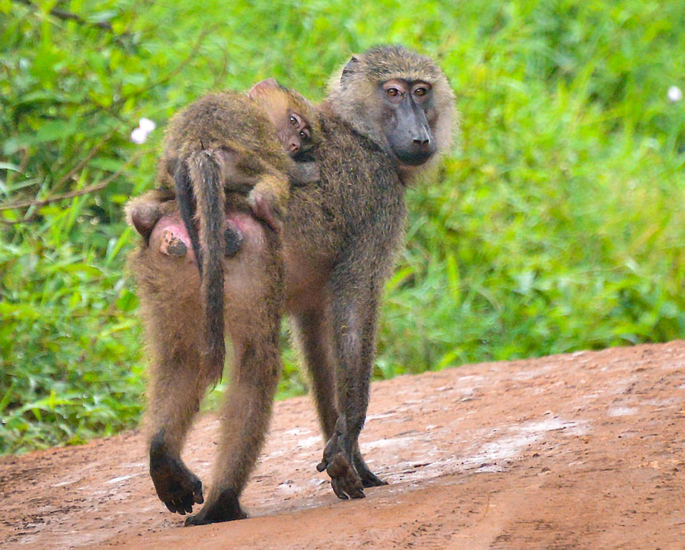 photo of a pair of baboons