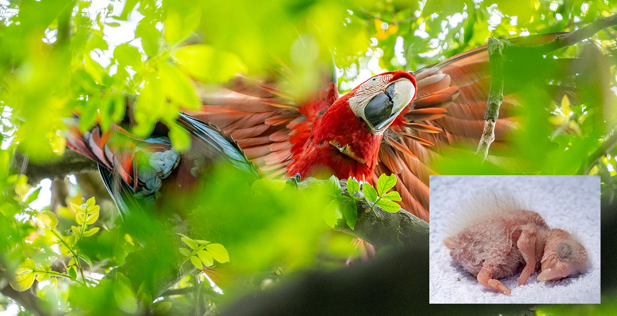 photo of a colorful parrot, hatchling inset
