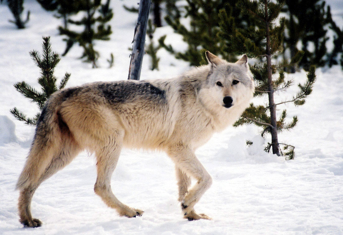 photo of a wolf in a snowy forest