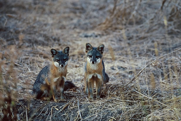 photo of two small foxes sitting