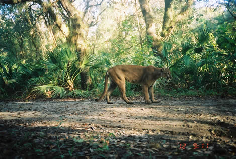 photo of a tawny large cat, a Florida Panther