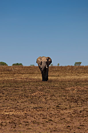 photo of an elephant in an arid landscape
