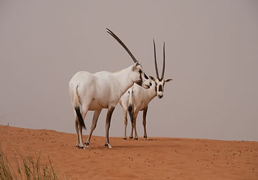 photo of two oryx on a dune