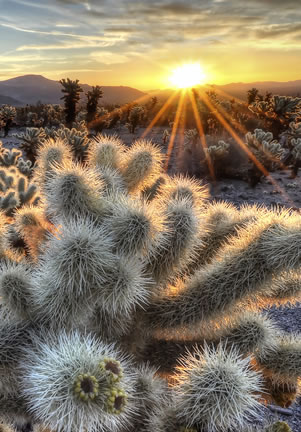 photo of a cactus forest at dawn