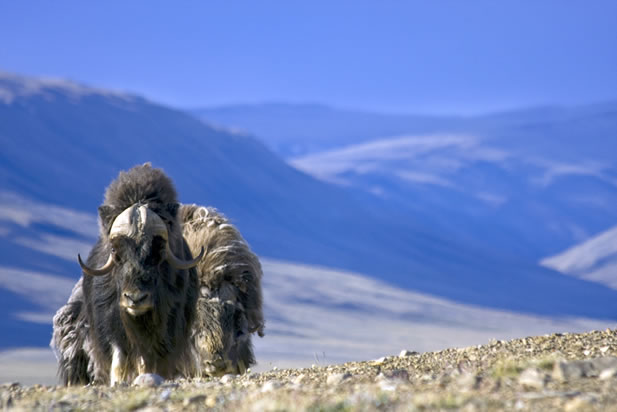 photo of musk oxen in an arctic landscape