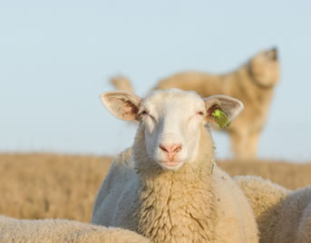 photo of a sheep looking into the camera lens, dog howling in the background
