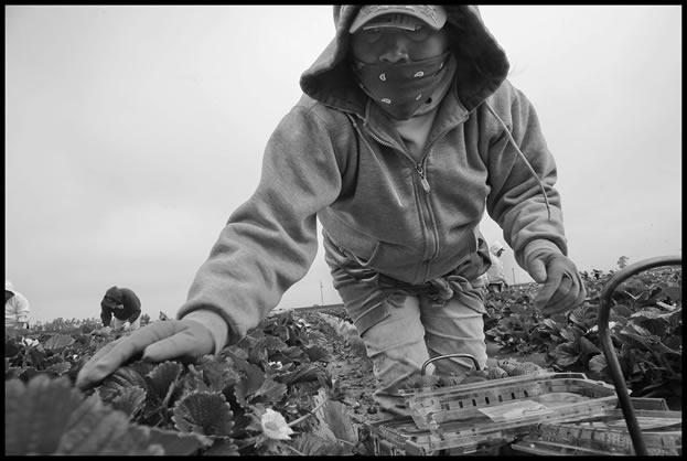 photo of someone wearing a mask and gloves, picking strawberries