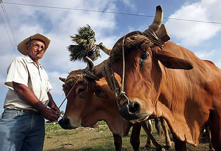 photo of a man holding traces to a pair of oxen