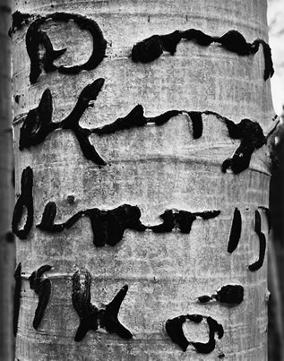 photo of the trunk of a tree, it's smooth bark marked with letters in cursive script, just on the other side of readability