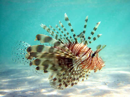 photo of an ornate fish, many-colored spines like feathers
