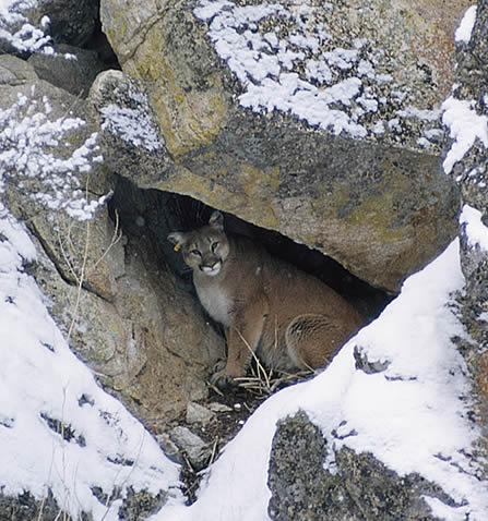 photo of a cougar in a small talus cave in a snowy setting, an ear-tag is apparent