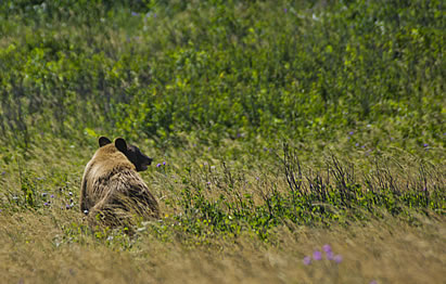 photo of a grizzly in high grass and wildflowers