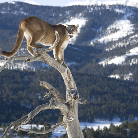 photo of a treed mountain lion