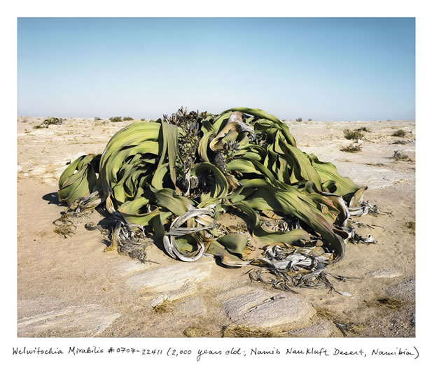 photo of a plant that looks wilted in a desert