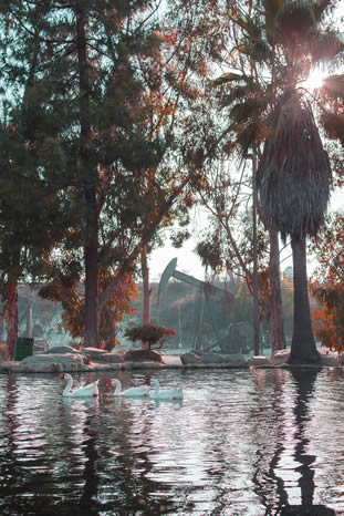 tinted photo of white geese paddling on a pond, eucalyptus trees all around, pumpjacks and oil machinery adjacent