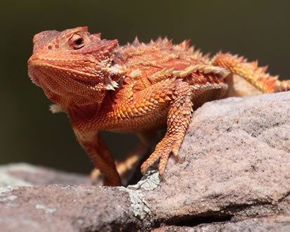 close-up photo of a horned toad lizard