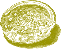 artwork depicting an abalone shell