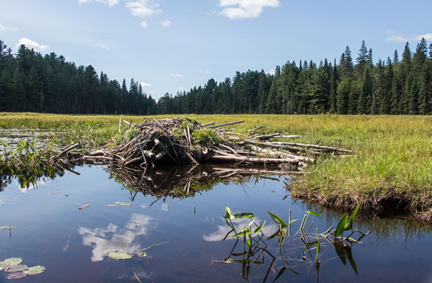 photo of a pond with a beaver lodge prevalent