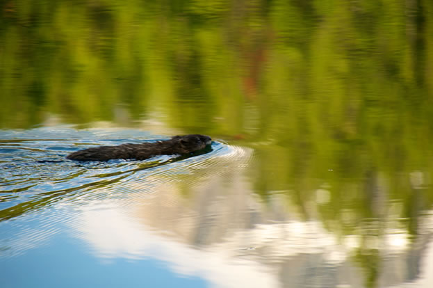 photo of a pond, beaver swimming across