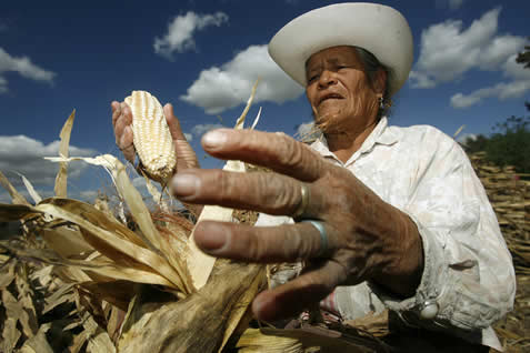 photo of a man harvesting an ear of corn in a field