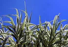 photo of grasslike plants under a clear sky