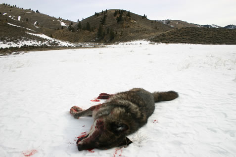 photo of a bloody dead wolf in a snowy landscape