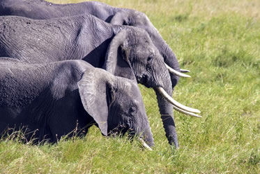 photo of an elephant group in a grassland