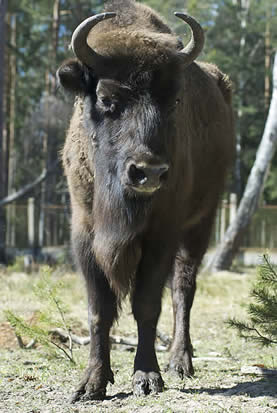 photo of a large horned bison