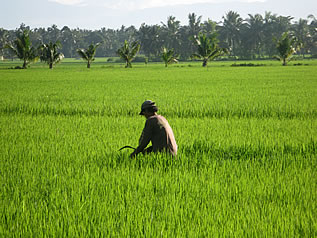 photo of a man working in a rice field, scythe in hand. there are palm trees in the background