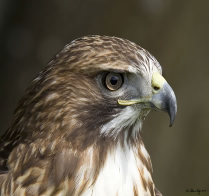 photo closeup of a bird of prey