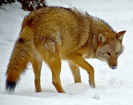 photo of a canid in snow