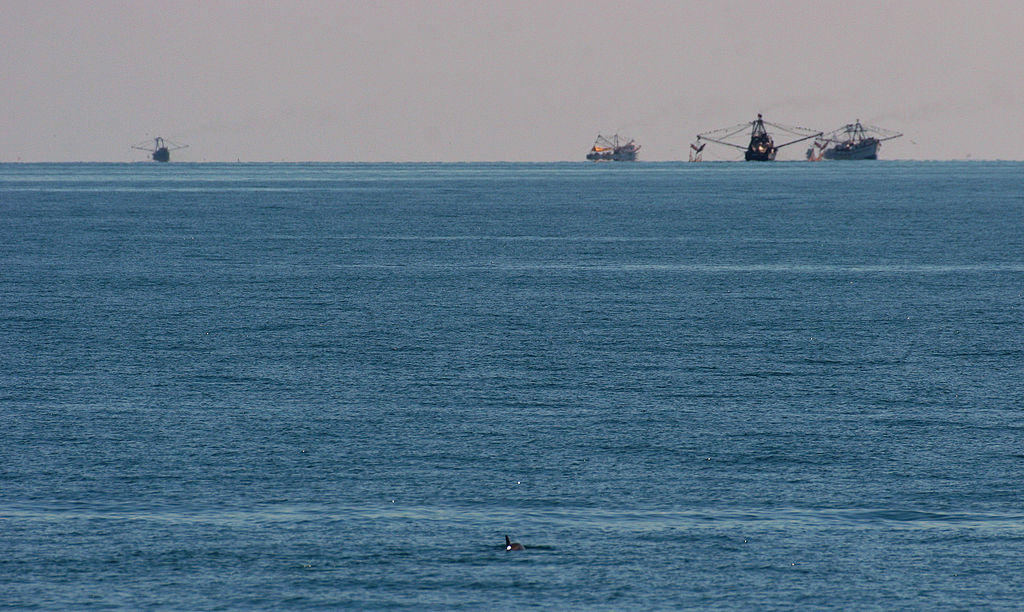 fishing trawlers in the Gulf of Califorina with a vaquita in the foreground