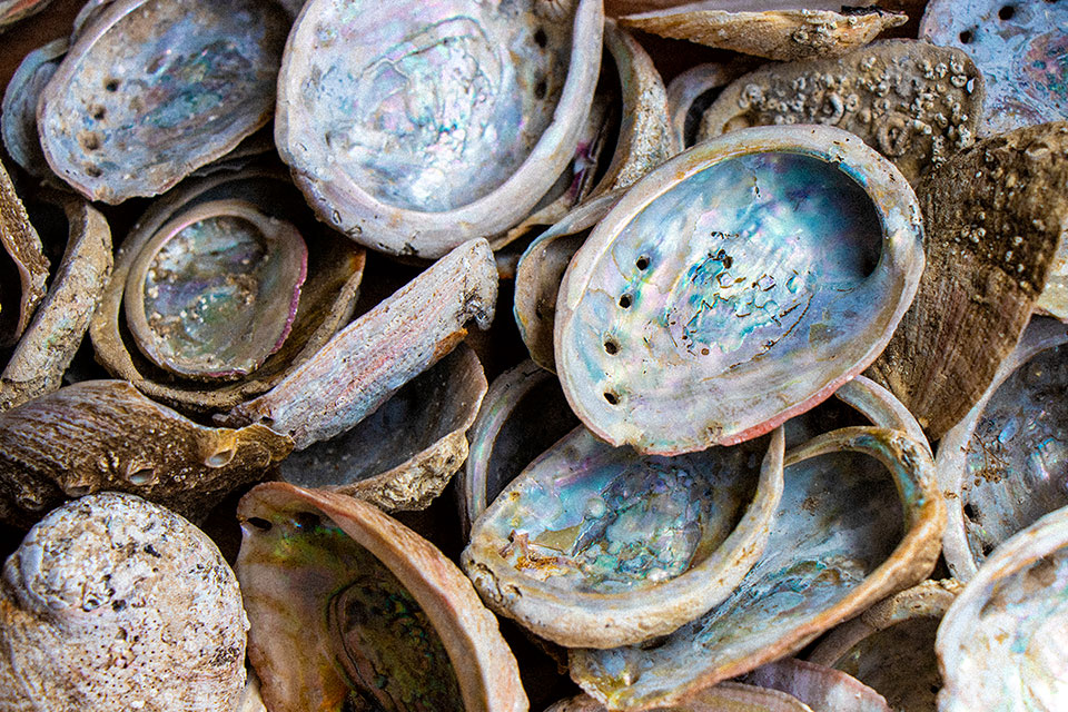 Abalone shells show a record of the animal's diet over time. Photo by Dominick Leskiw.