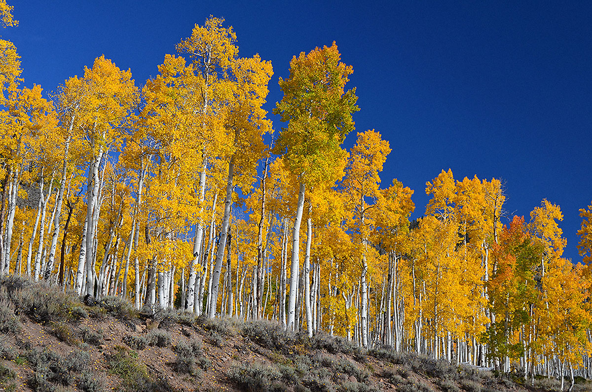 One of the world's largest organisms, a grove of more than 47,000 quivering aspen connected by a single root system, is being slowly lost to grazing by deer and cattle. Photo J Zapell / USDA Forest Service