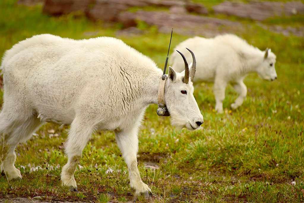 Studies show that affixing a tag or a collar to an animal, like this mountain goat in Glacier National Park, can have long-term impacts on behavior and health. Photo by Tom Driggers.