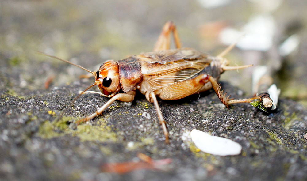 "It seems crickets may be to blame for the ""sonic weapons"" attack reported by US embassy staff in Cuba. Photo: Zoologische Staatssammlung München (ZSM)"