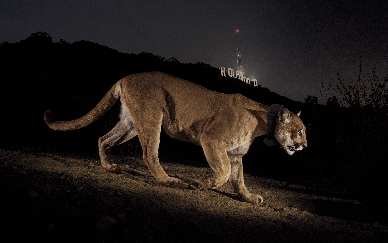 Winter's now iconic camera trap photo of P-22 with the Hollywood sign in the backdrop put LA on the map as more than a tourist destination and concrete wasteland devoid of wildlife.