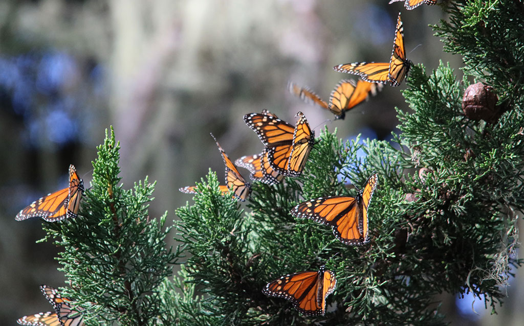 In December, the US Fish and Wildlife Service put the monarch butterfly on a waiting list for federal protection. Scientists say that wait could cost us the species. Photo by Joanna Gilkeson-USFWS.