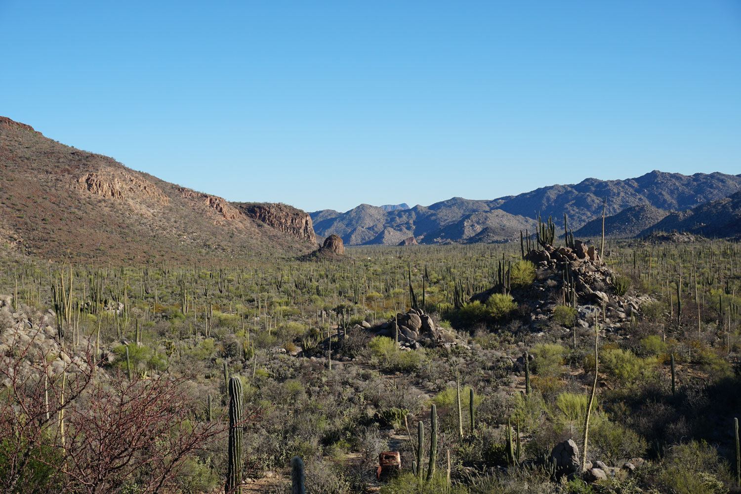 Valle de Los Cirios is named for the cirio, a long, tall tree that is endemic to Baja California. Photo by Greg Harris.