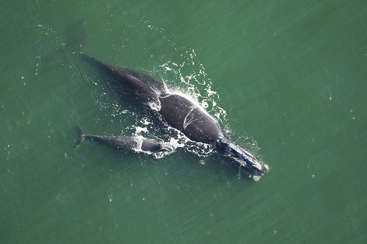 aerial photo of whales at sea