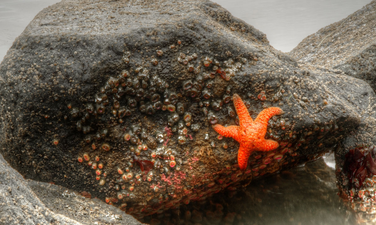 A rapid genetic adaptation is protecting ochre sea stars from a viral infection that decimated populations just a few years ago. Photo by Scott Smithson.