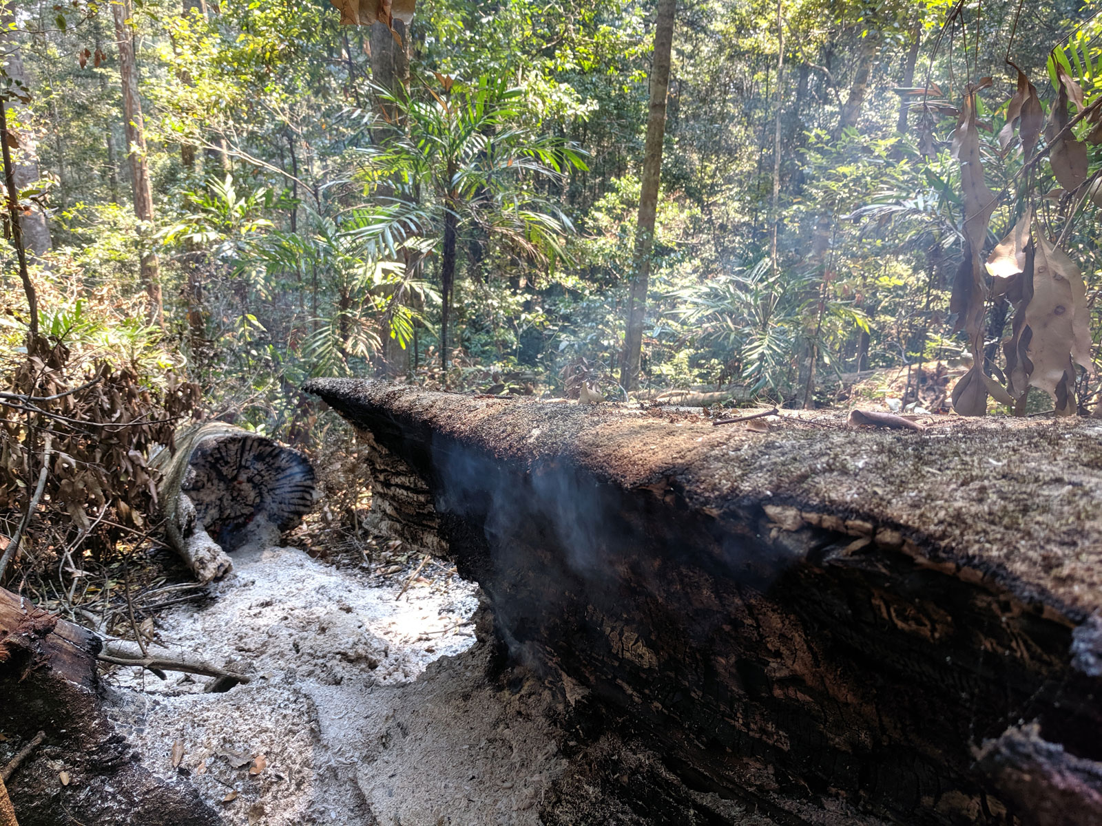 A Coachwood trunk smolders in Ellenborough Falls Reserve in New South Whales. Photo by Georgina Woods.