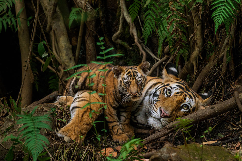 One of Winter's personal favorites — a Bengal tiger mom and her two-month-old cub in Bandhavgarh National Park, India. Photo Steve Winter