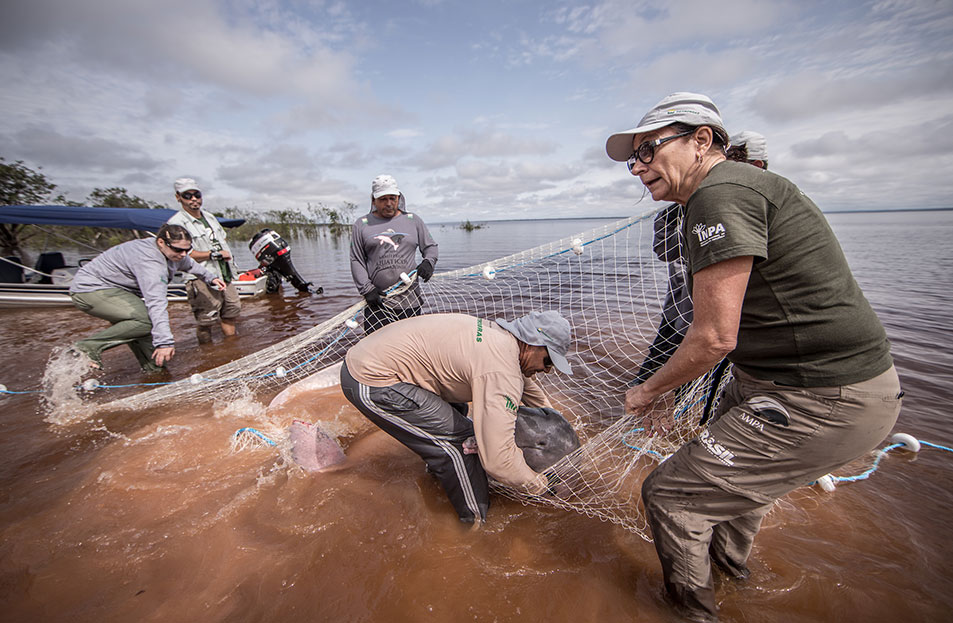 Vera da Silva has spent more than two decades documenting botos. In the process, she has created the most detailed dataset of Amazon river dolphin populations in existence. Photo Jonne Roriz / AMPA
