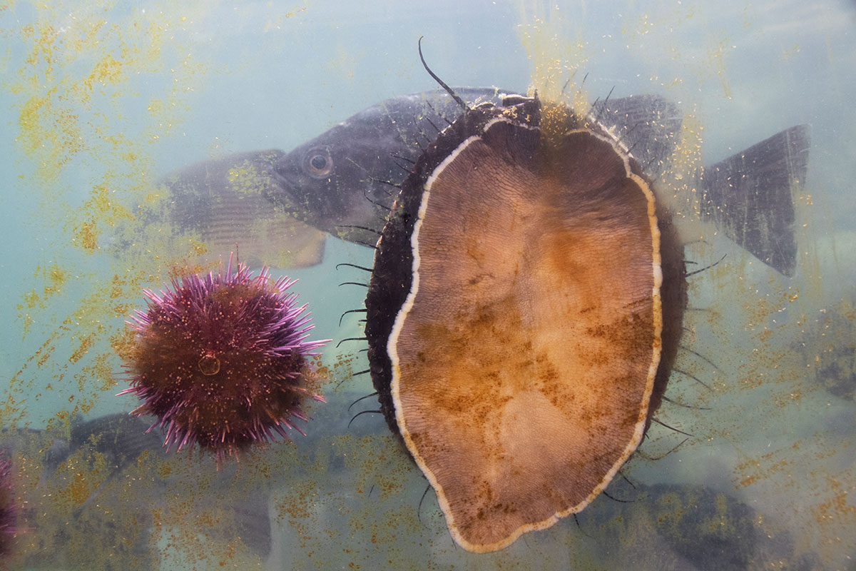 photo of an aquarium with an abalone, an urchin, and a fish