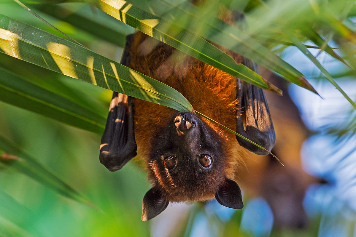 photo of indian flying fox bat