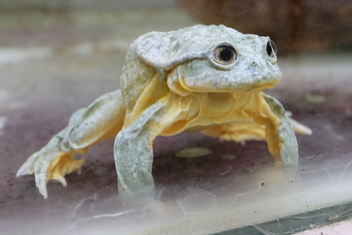 Part of this effort has included a program to breed the frogs in captivity in case wild populations continue to decline. Photo Erin Mckittrick